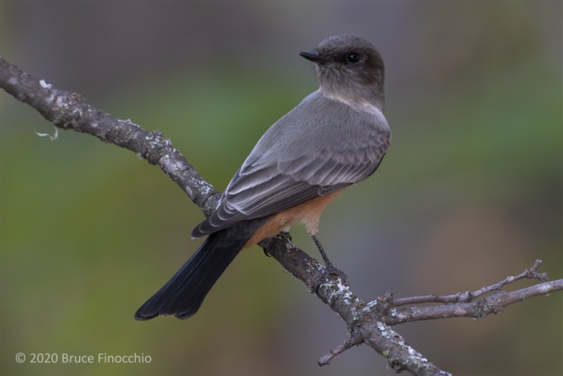 A Say's Phoebe Looks Over Its Shoulder While Perched On A Oak Branch