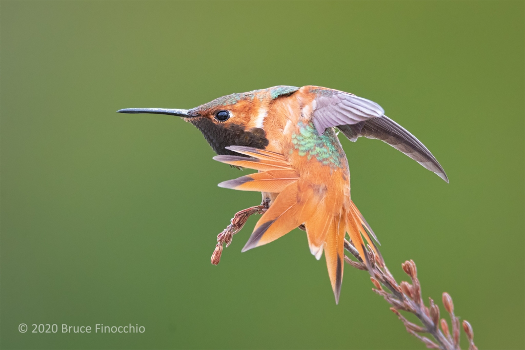 A Male Allen's Hummingbird Vigorously Stretches His Wings And Tail Feathers