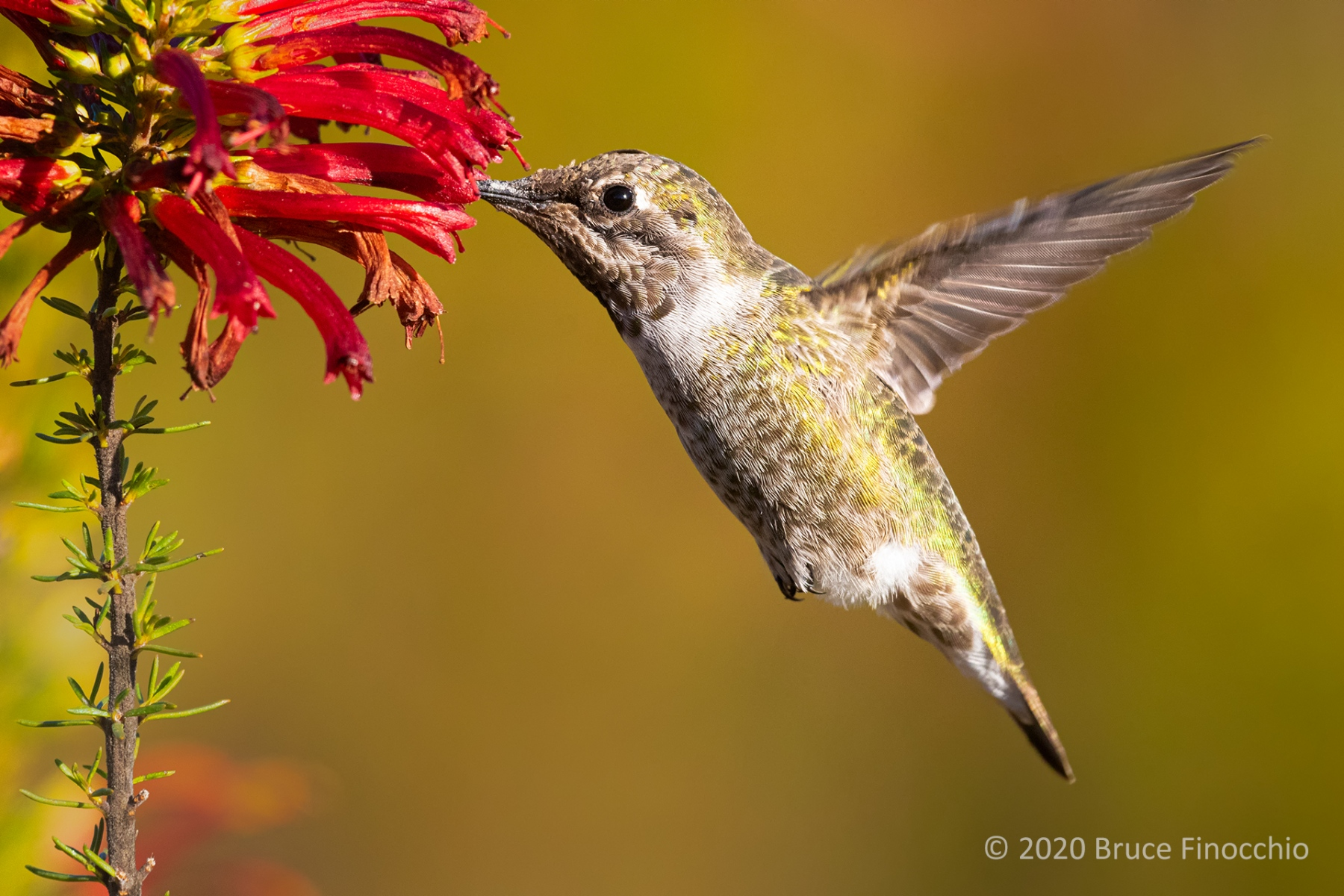 Female Allen's Hummingbird Sipping Nectar From A Cape Heath Blossom