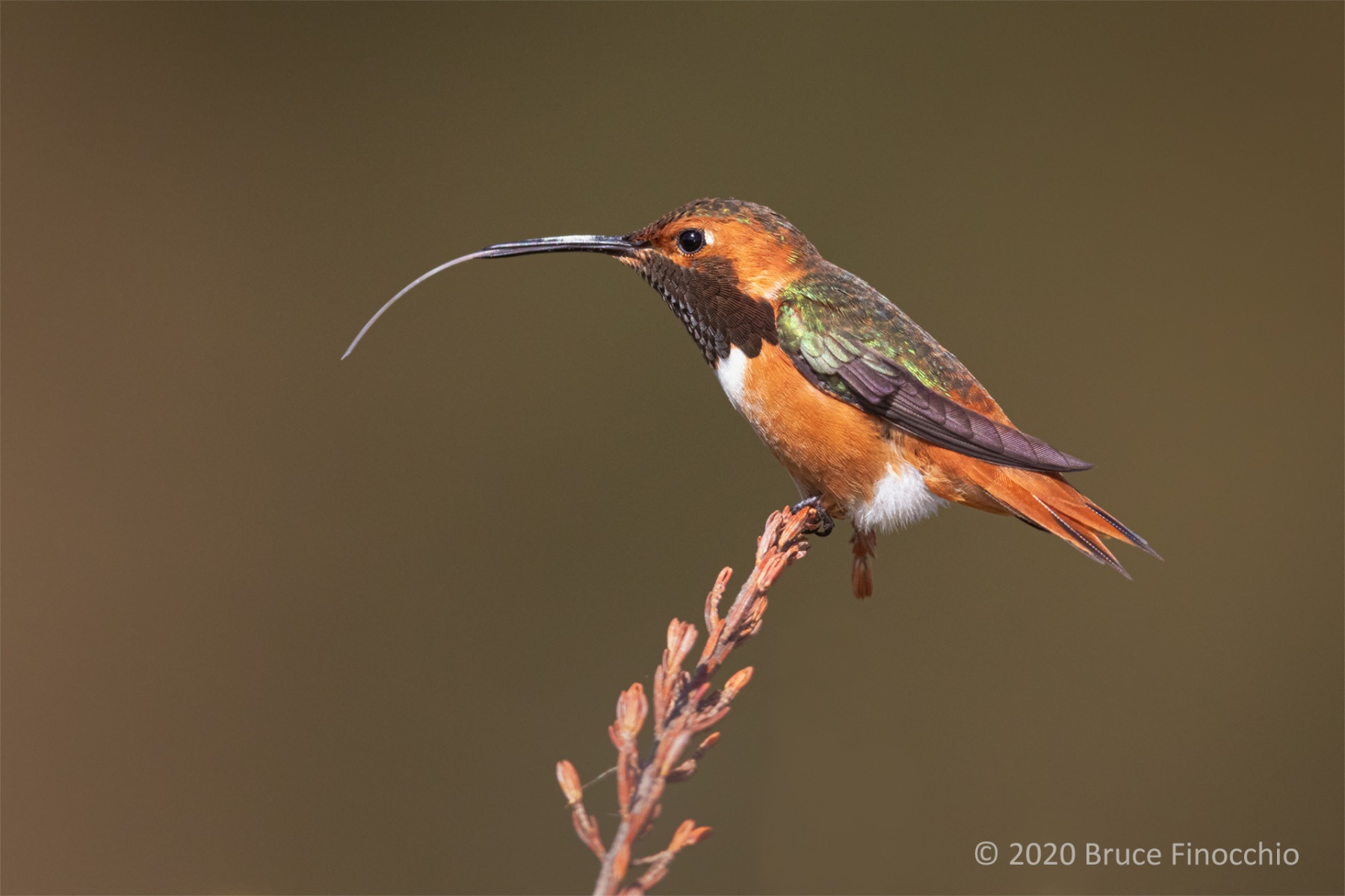 Long White Tongue Of A Male Allen's Hummingbird At Full Extension