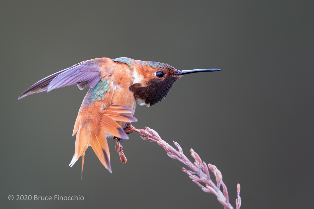 Wing And Tail Stretch Of A Male Allen's Hummingbird On A Dry Cape Heath Branch