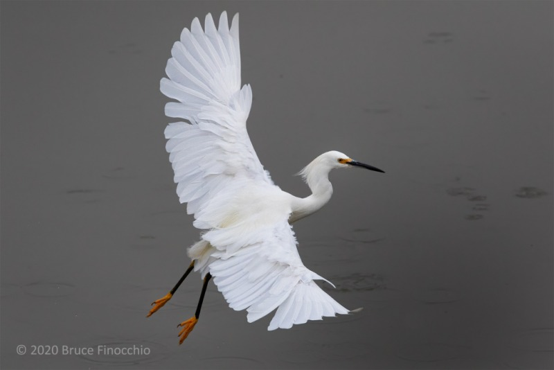 A Snowy Egret Takes Flight From The Gray Waters Of An Inland Pond