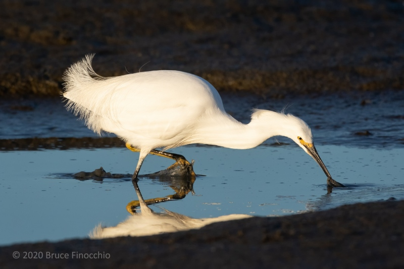 A Striking Snowy Egret At The Moment Of Capture