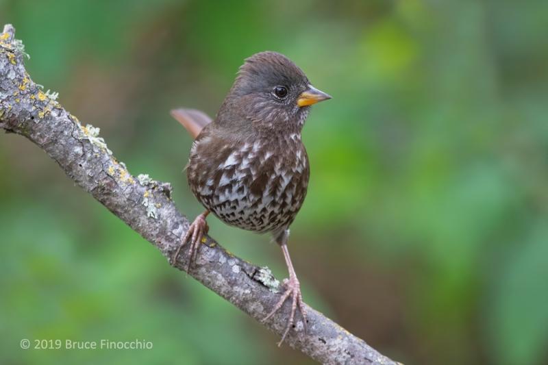 An Alert Sooty Fox Sparrow Perched On An Oak Branch