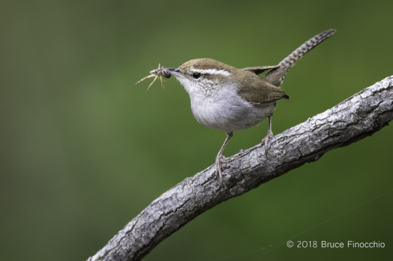 Bewick's Wren With Spider In Its Beak