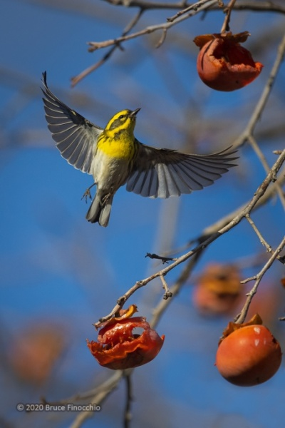Female Townsend's Warbler In Flight Between Persimmon Fruit