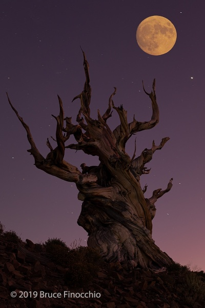 Full Moon Over Ancient Bristlecone Pine
