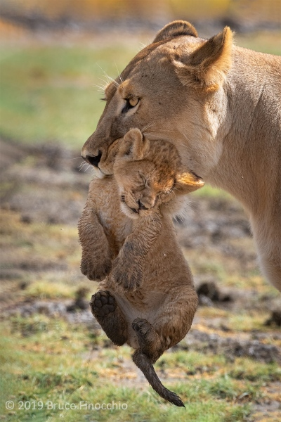 Lioness With Cub In Her Mouth