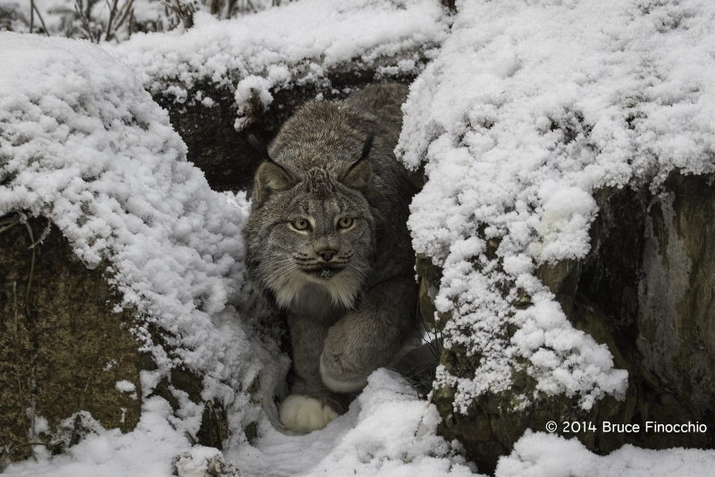 Lynx Peers Between Two Rocks