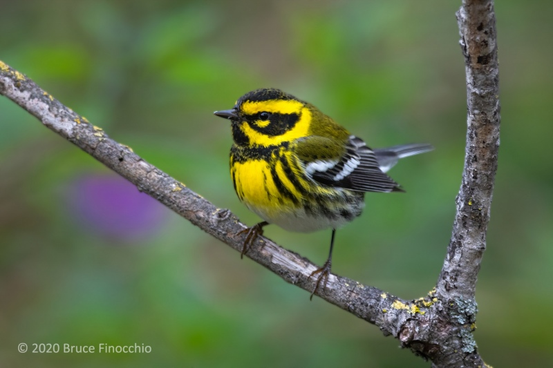 Male Townsend's Warbler Perched Between Branches