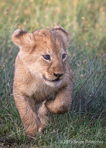 One Of Eleven Ndutu Marsh Pride Cubs Running Back To Mother