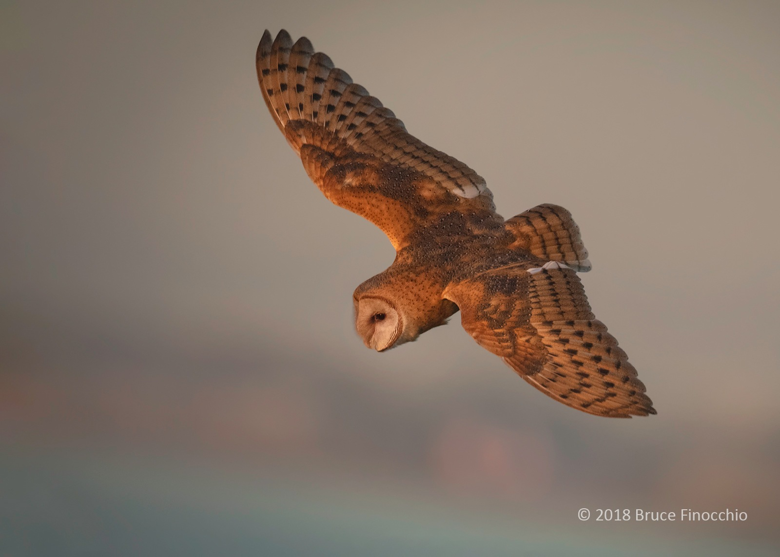 A Flying Barn Owl In The Early Light Of Sunrise