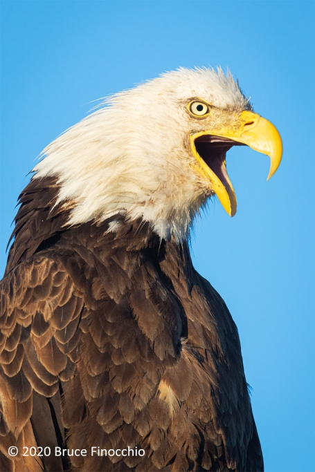 A Bald Eagle Screams Out Its Call