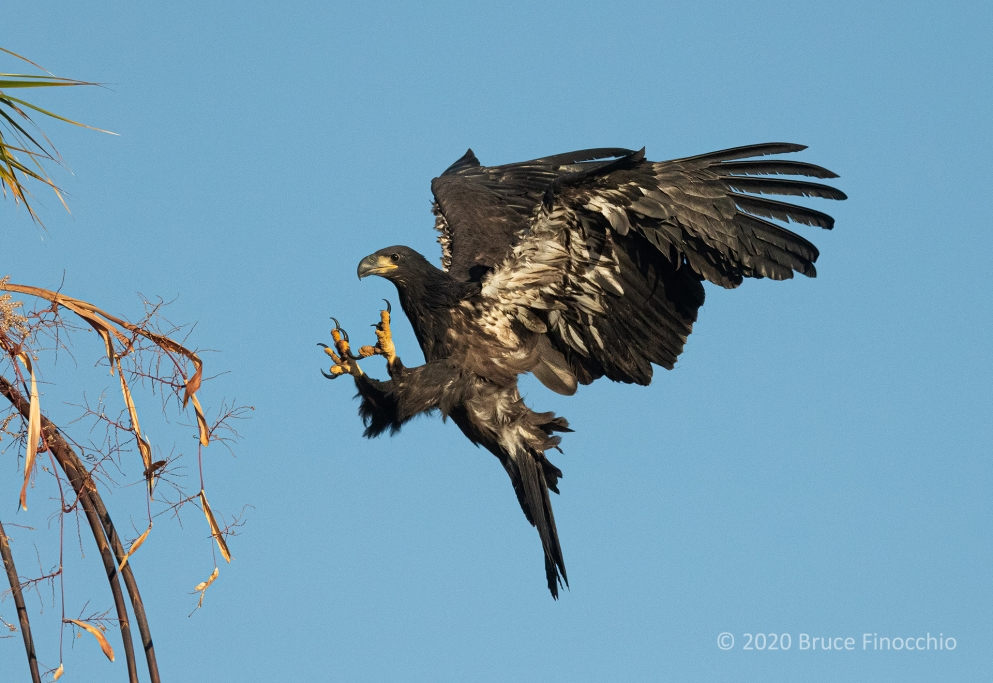 A Juvenile Bald Eagle With Talons Out As It Prepares To Land