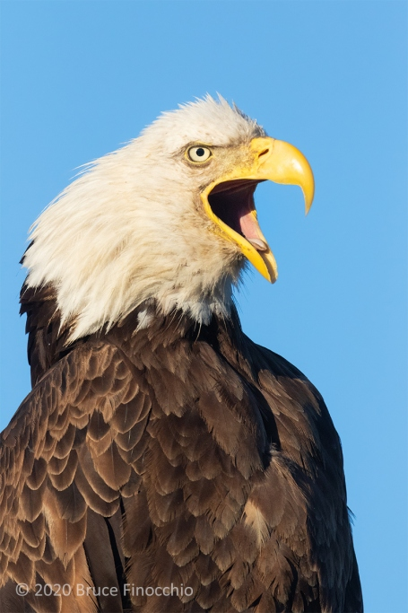A Mature Bald Eagle Give A Full Throated Screech