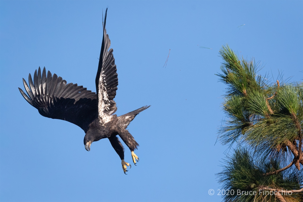 As A Juvenile Bald Eagle Dives Off A Pine Tree And Sends Needles Into The Air