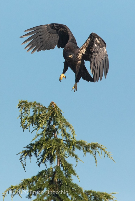 Juvenile Bald Eagle Lifts Off The Top Of A Cypress Tree