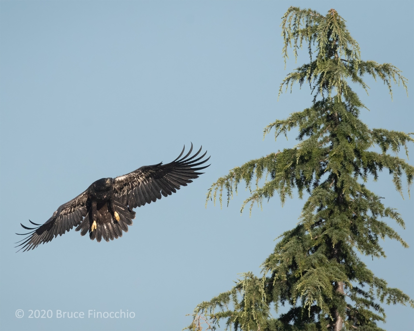 Juvenlie Bale Eagle Preparing To Land On The Top Of A Cypress Tree