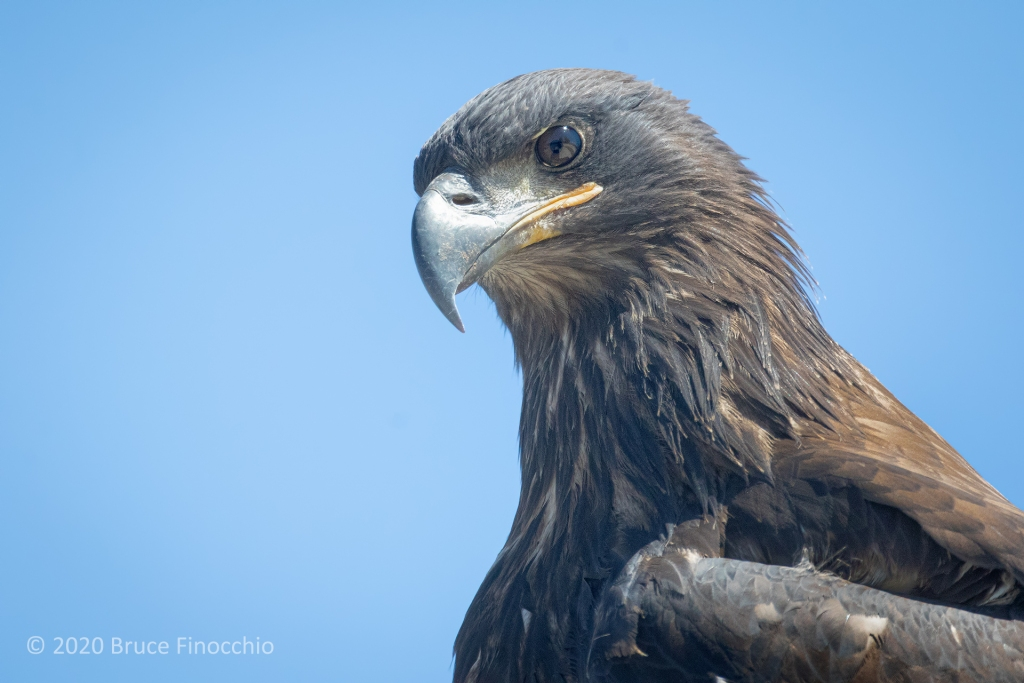 The Fierce Stare Of A Juvenile Bald Eagle