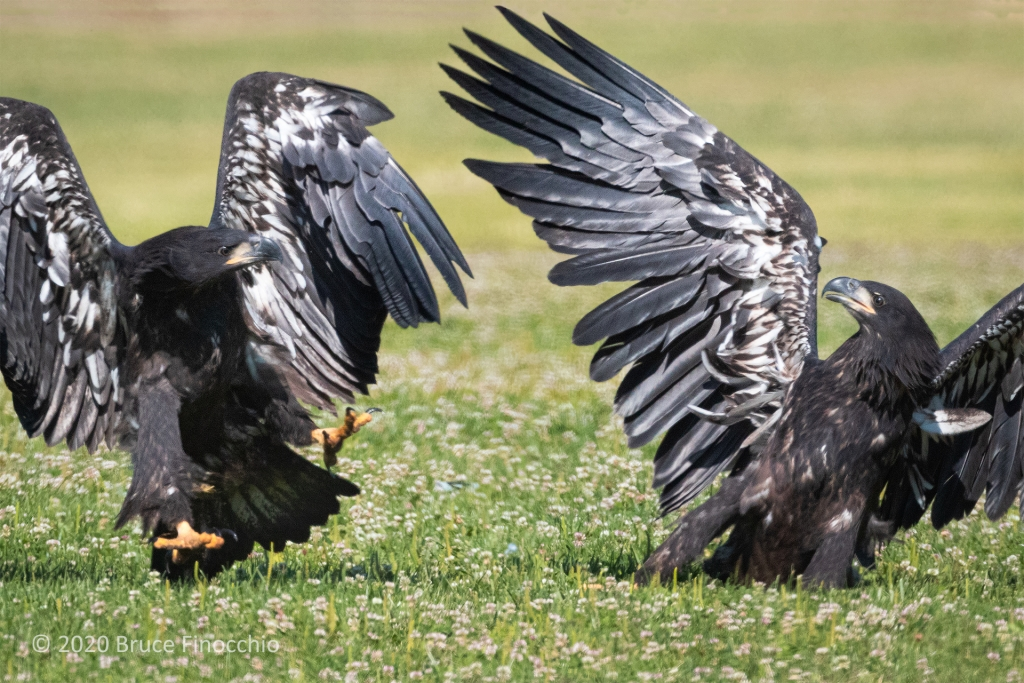 Two Sister Juvenile Bald Eagle Fighting To Assert Dominance