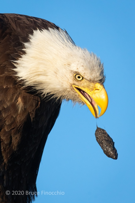 While Perched A Bald Eagle Throws Up A Hair Pellet