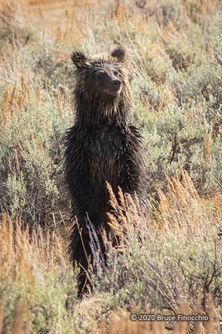 A Wet Grizzly Cub Stands On Its Hind Legs To See Above The Sage Brush And Asses Danger