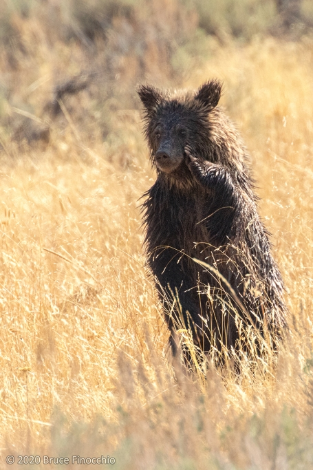 Young Grizzly Bear Cub Standing Up With Its Paw On Its Face